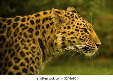 Rare Amur Leopard in profile