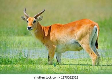 Rare antelope. Kobus vardonii, Puku, animal walking in the water grass during hot day. Forest mammal in the habitat, Okavango, Botswana. Wildlife scene with deer from African. nature.