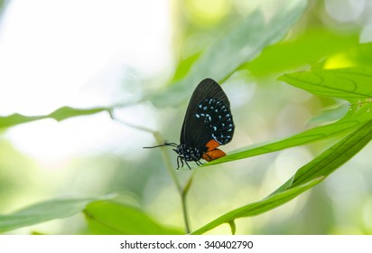 Rare Atala butterfly resting on leaf