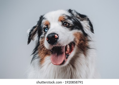 Rare australian dog with blue eye and with mutlicolored fur posing in white background with playful mood.