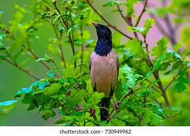 Rare bird. Rosy Starling / Pastor roseus. Green nature background.
