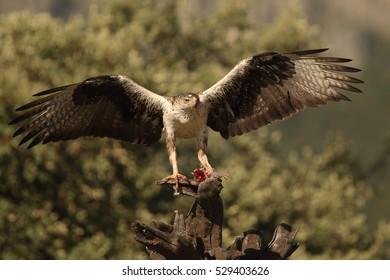 Rare birds - small eagles - Bonelli's eagle  and Booted eagle