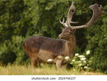 Rare black colored fallow deer standing on summer meadow. Adult black fallow deer with big antlers covered in velvet close-up. Wild animal in nature with blurred background. Dama dama.