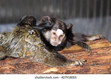Rare Black-tufted marmoset Callithrix penicillata, female with young