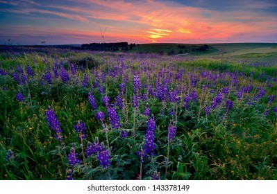 Rare blossom of lupins in North of Israel.