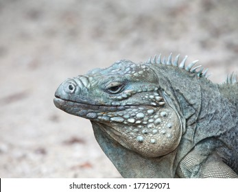 Rare Blue Iguana, also known as Grand Cayman Iguana