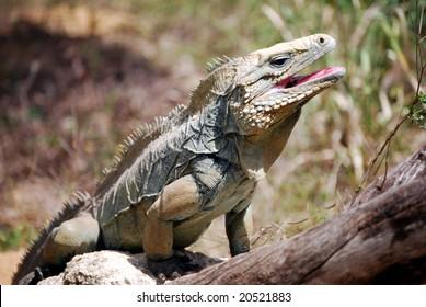 Rare Blue Iguana, also known as Grand Cayman Iguana (Cyclura lewisi) on the island of Grand Cayman