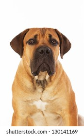 Rare breed South African boerboel posing in studio. Isolated on white