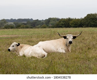 Rare breed White Park cattle. Resting in a Wiltshire pasture.