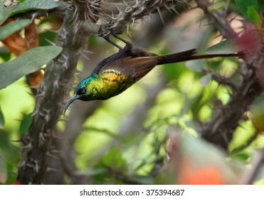 Rare Bronze Sunbird  Nectarinia kilimensis, african nectar feeding bird with glossy, metallic green head and back and golden band across the chest. Hanging on thorny twig with green background,Uganda.
