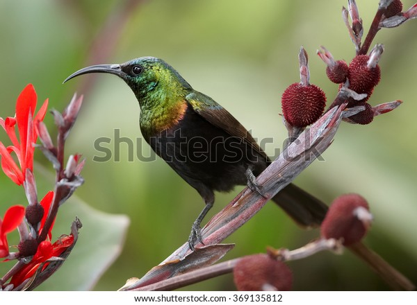 Rare Bronze Sunbird  Nectarinia kilimensis, african nectar feeding bird with glossy, metallic green head and back, golden band across the chest. Perched on stem with red flowers background. Uganda.