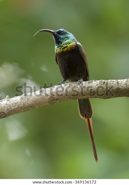 Rare Bronze Sunbird  Nectarinia kilimensis, african nectar feeding bird with glossy, metallic green head and back, golden band across the chest. Perched on branch, abstract green background. Uganda.