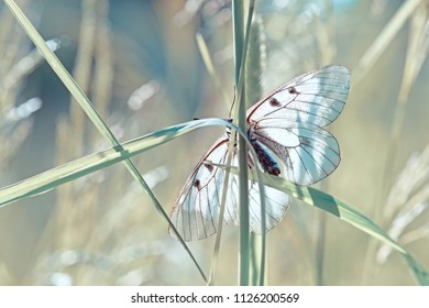 Rare butterfly black Apollo or mnemosine sitting on a blade of grass in the rays of the contour light.