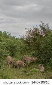 Rare cheetah coalition Masai Mara