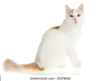 d5718f5f73 Rare cream Turkish Van cat on white background