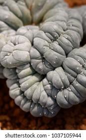 Rare cristate form of Peyote (Lophophora fricii)