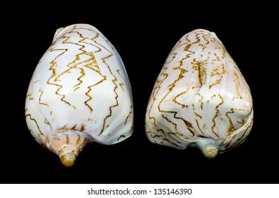 Rare Cymbiola nobilis marine seashell isolated on black background