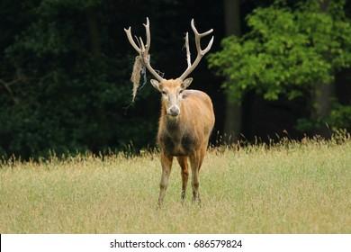 Rare deer Elaphurus davidianus