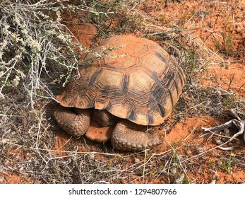 Rare desert tortoise, Gopherus agassizii with its head tucked in its shell in it's hot harsh sandy habitat