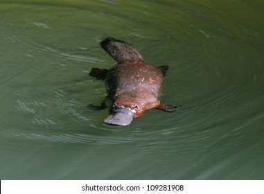 rare & elusive australian duck billed platypus in rainforest creek,eungella nat park, mackay,queensland,australia.exotic looking beaver tailed otter footed venomous mammal tropical jungle creek river