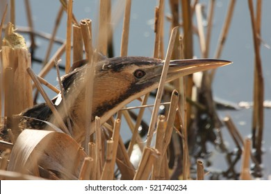 A  rare and elusive Bittern (Botaurus stellaris) hunting in the reed bed..