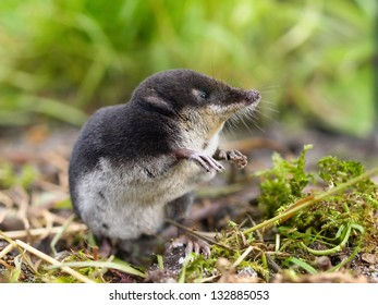 The Rare and Elusive European Water Shrew (Neomys fodiens) sitting on it's Hind Legs