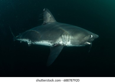 the rare and elusive salmon shark, underwater photo in the open ocean of Alaska. Lamna ditropis, one of the least photographed sharks in the wild.