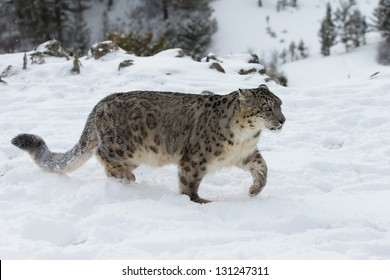 Rare and Elusive Snow Leopard on snow covered hillside