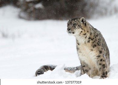Rare and Elusive Snow Leopard in winter snow scene