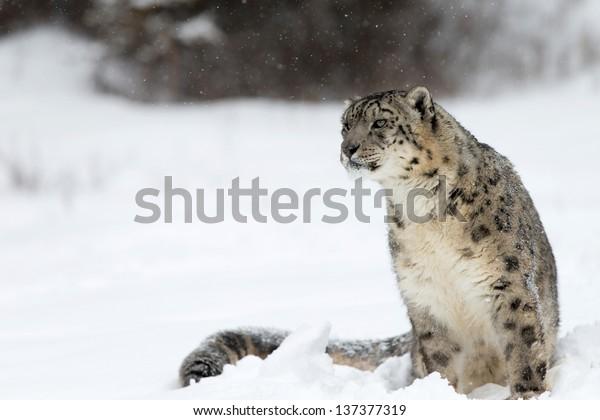 Léopard des neiges rare et insaisissable dans la neige hivernale