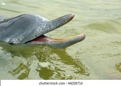 the rare and endangered Estuarine Dolphin tin cna bay