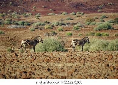 Rare, endangered Hartmann's zebra or mountain zebra, Damaraland, Namibia.