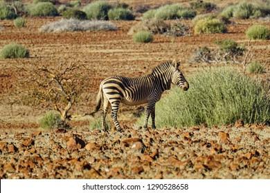 Rare, endangered Hartmann's zebra or mountain zebra, Damaraland, Namibia, Africa.