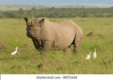 A rare endangered white rhino in Kenya's Masai Mara