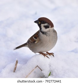 rare Eurasian tree sparrow Passer montanus