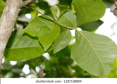 Rare fresh young green bael ( Aegle marmelos, golden apple, stone apple, wood apple) leafs on tree.Normally  bael leaves are  trifoliate. But there is six leaves on the single petiole, or leafstalk.