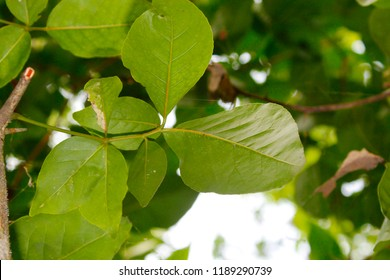 Rare fresh young green bael ( Arbre de Bael, Bel, Bel Indien, Bilva, Bilwa, Cognassier du Bengale) leafs on tree.Normally bael leaves are trifoliate. But there is six leaves on the single petiole.