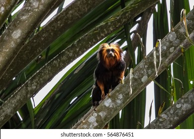 Rare Golden headed lion tamarin in a palm tree, Una, Bahia, Brazil