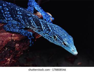 rare gorgeous tree monitor lizard on dark background
