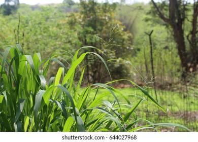 Rare Grass