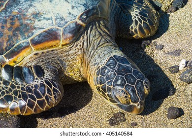 Rare green sea turtle resting on Hawaiian beach