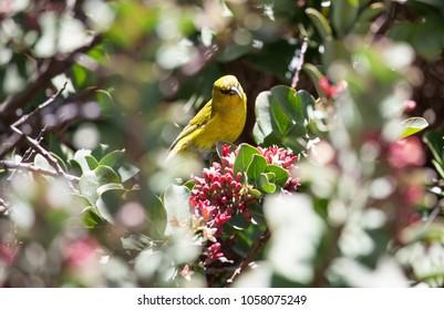 Rare Hawaii Honeycreeper Bird called Amakihi