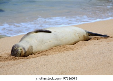 A rare Hawaiian Monk Seal suns itself on the beach with a happy, relaxed expression on its face