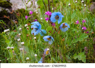 Rare Himalayan flower Blue Poppy seen with other himalayan flowers during monsoon trek to Valley of Flowers National Park, unesco world heritage site in Nanda Devi Biosphere Reserve,Uttarakhand,India.