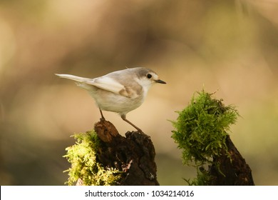A rare Leucistic Robin (Erithacus rubecula) perched on a mossy wooden stump in the shade of the woods.