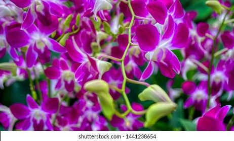 Rare lilac and white orchid from National Orchid Garden, Singapore