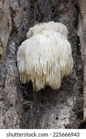 Rare Lion's Mane Mushroom (Hericium erinaceus) - Spanderswoud, Hilversum, the Netherlands