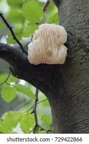 Rare Lion's Mane Mushroom (Hericium erinaceus)