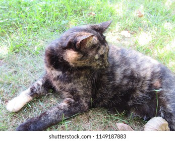 A rare male tortoiseshell cat playing outside in the grass, tortoiseshell cats are almost always female