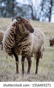 Rare Manx Loaghtan sheep grazing on grassland